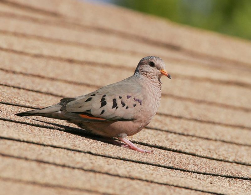 Common_Ground_Dove