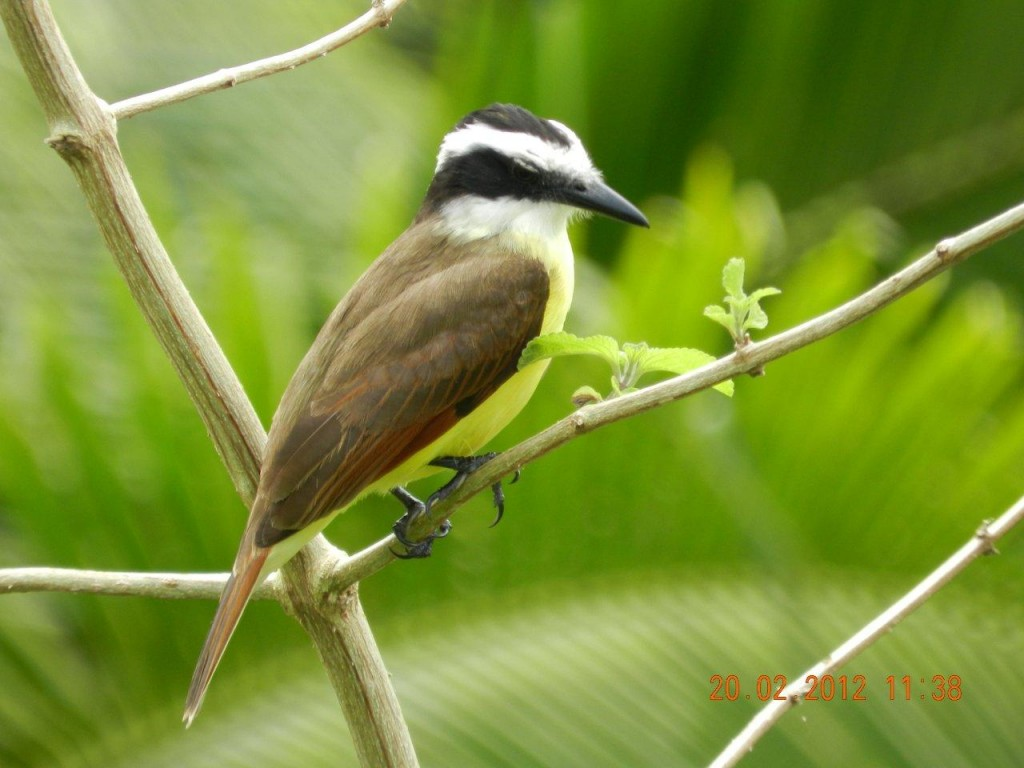 Great_Kiskadee