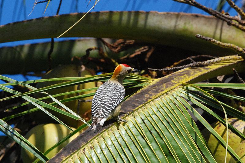 Pic de Hoffmann Melanerpes hoffmannii Hoffmann's Woodpecker