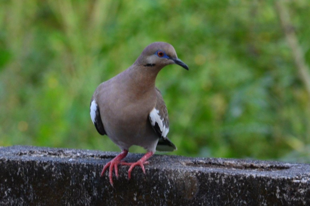 White_winged_Dove