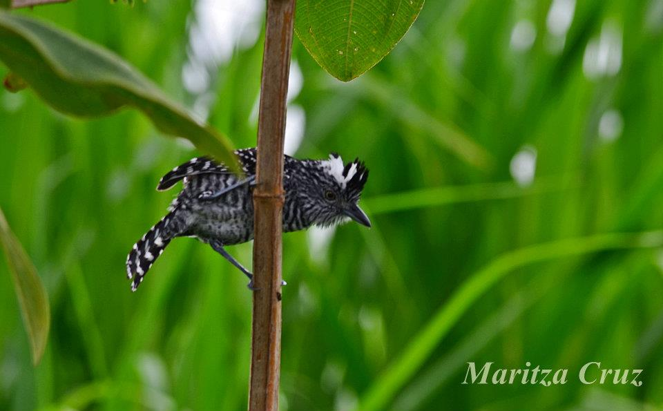 Barred_Antshrike.