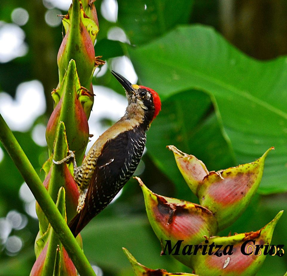 Black_cheeked_Woodpecker.
