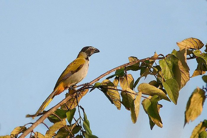 Black_headed_saltator