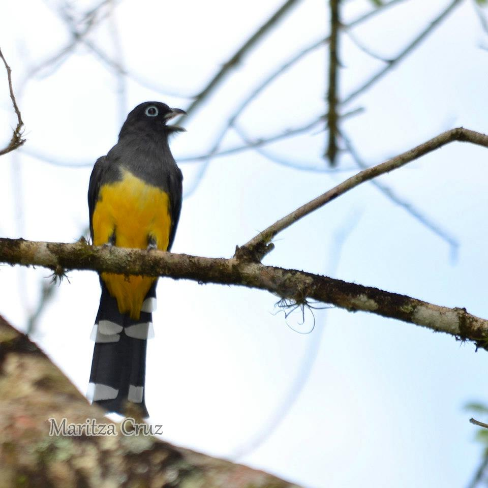 Black_heded_Trogon