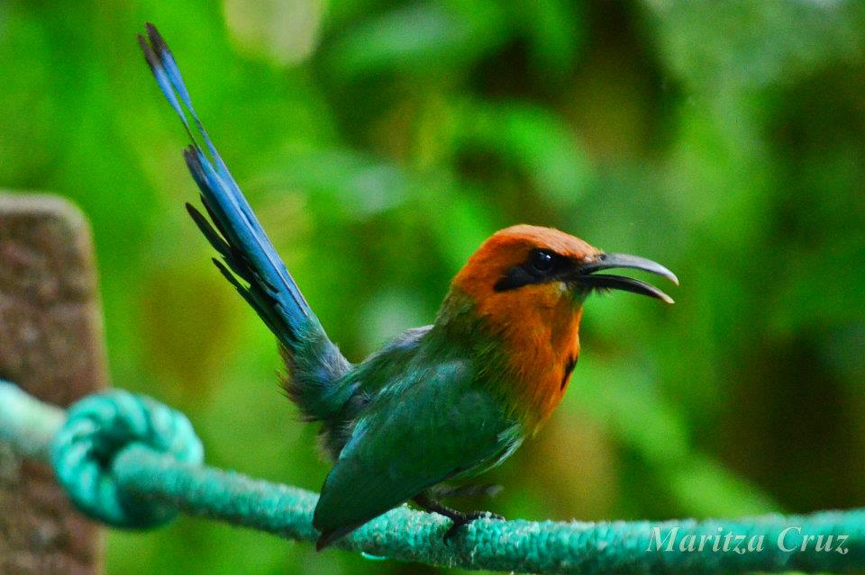 Broad_billed_Motmot.