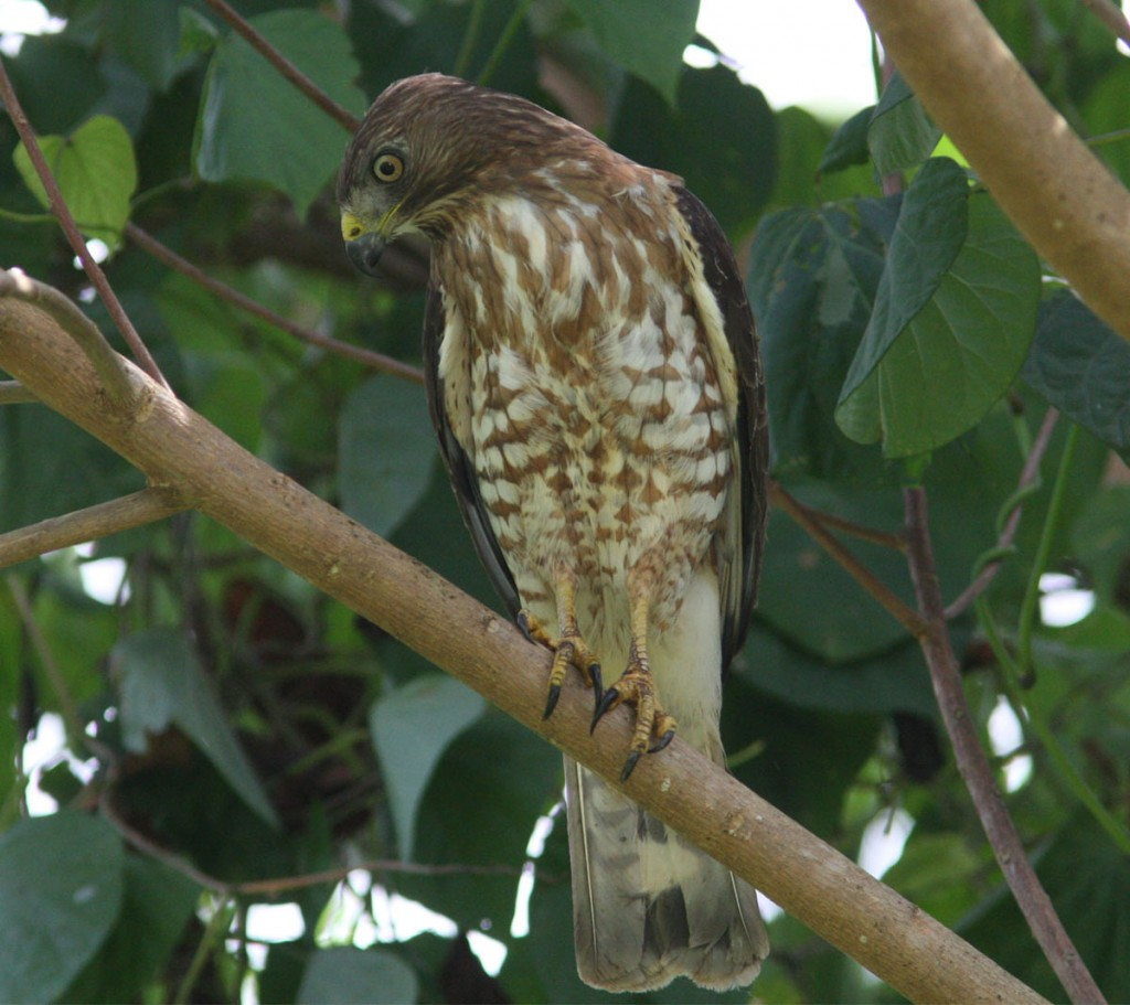 Broad_winged_Hawk