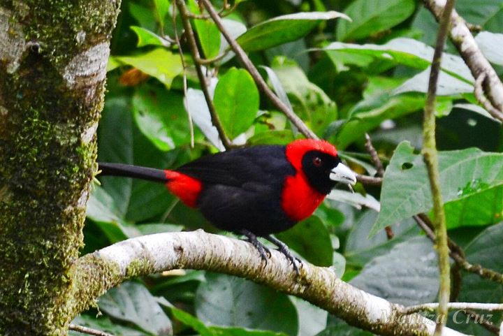 Crimson_collared_Tanager__MIGRATORIO_