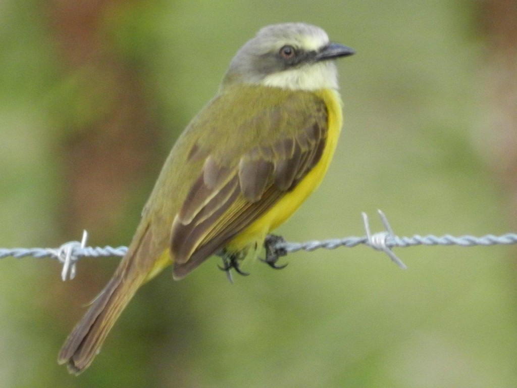 Gray_capped_Flycatcher