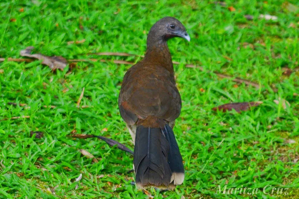 Gray_headed_Chachalaca.