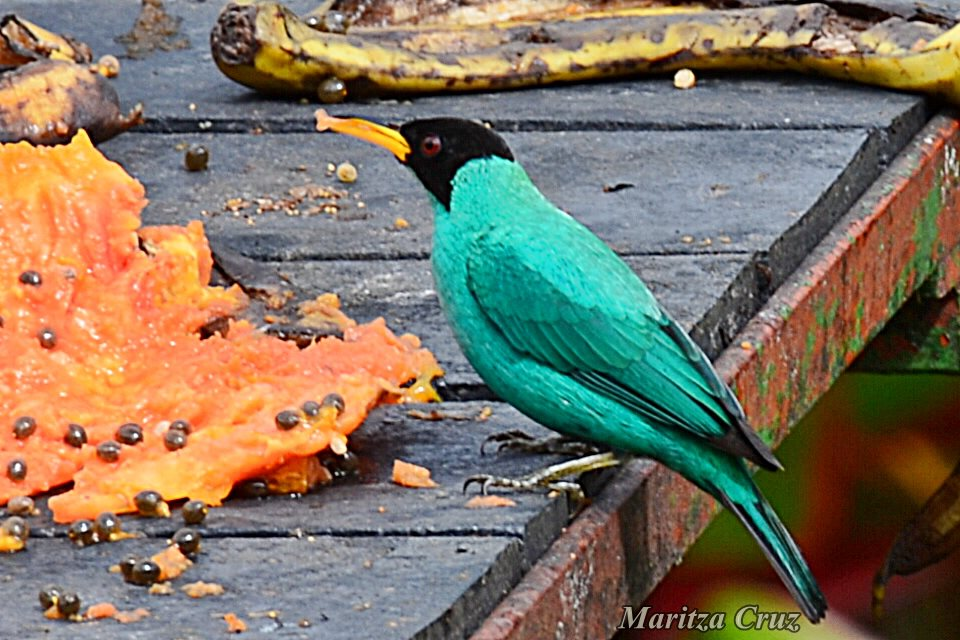 Green_Honeycreeper.