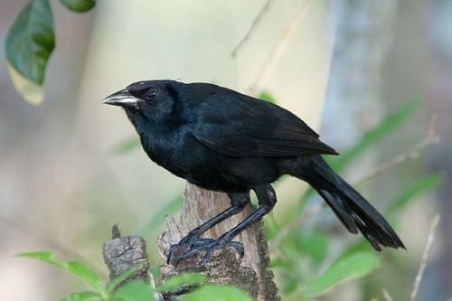 Melodious_Blackbird