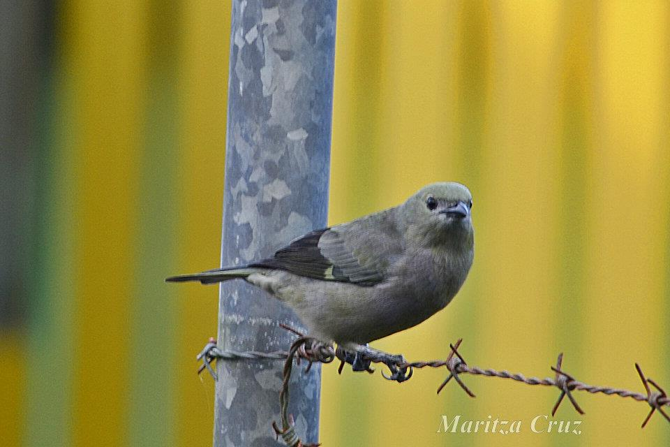 Palm_Tanager.