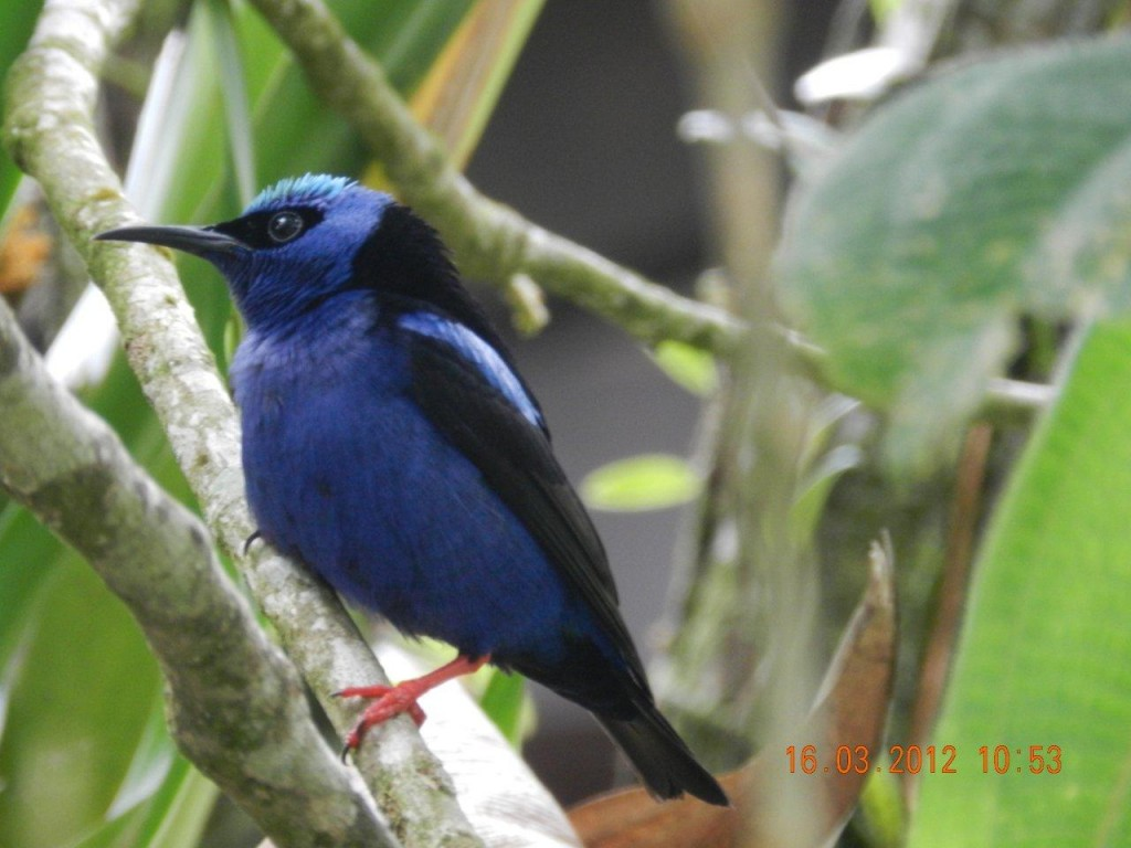 Red_legged_Honeycreeper