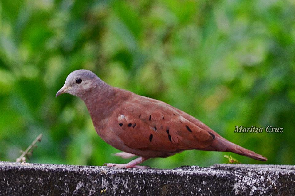 Ruddy_Ground_Dove.