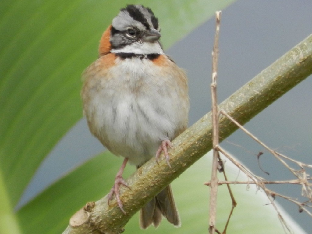 Rufous_collared_Sparrow