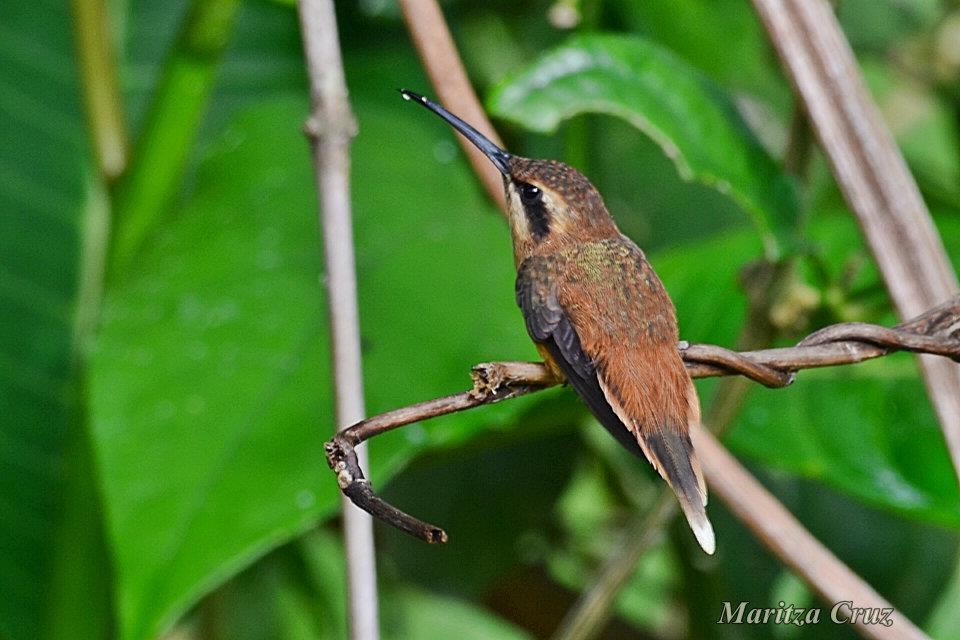 Stripe_throated_Hermit.
