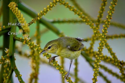 Tennessee_Warbler__MIGRATORIO_