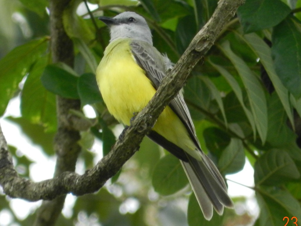 Tropical_Kingbird