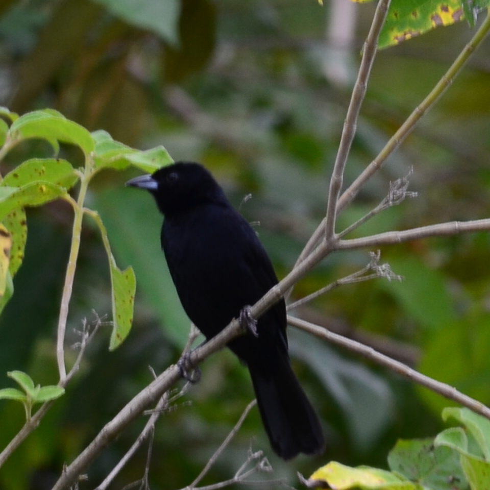 White_lined_Tanager
