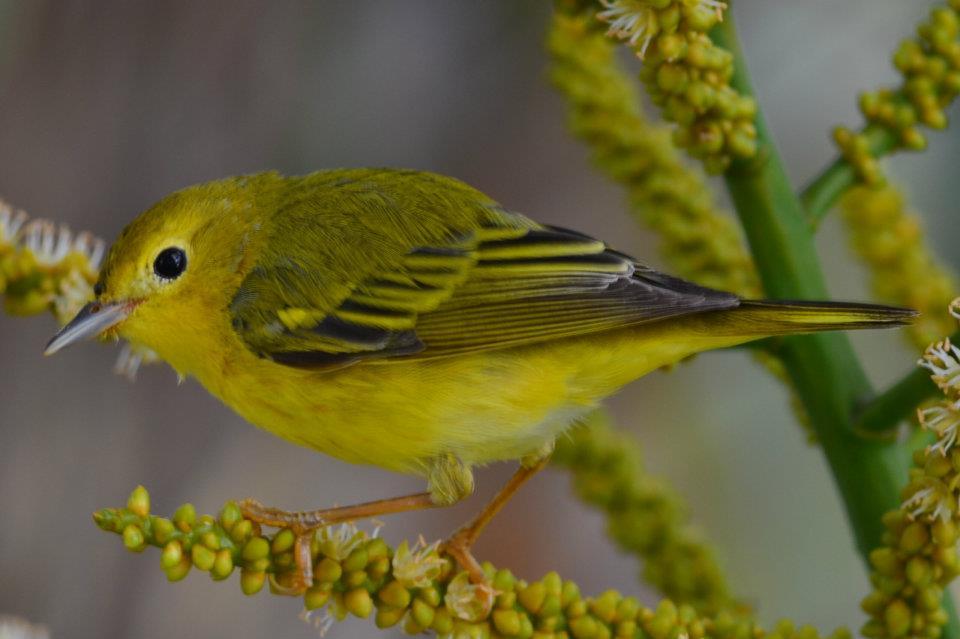 Yellow_Warbler__MIGRATORIO_.