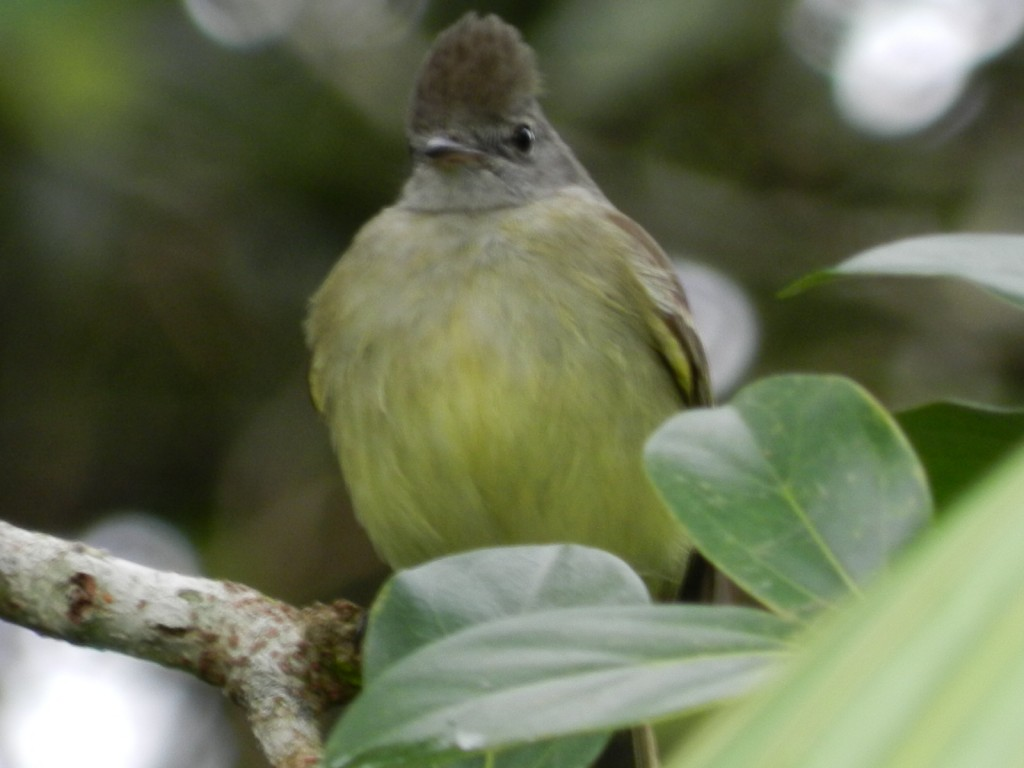 Yellow_bellied_Elaenia