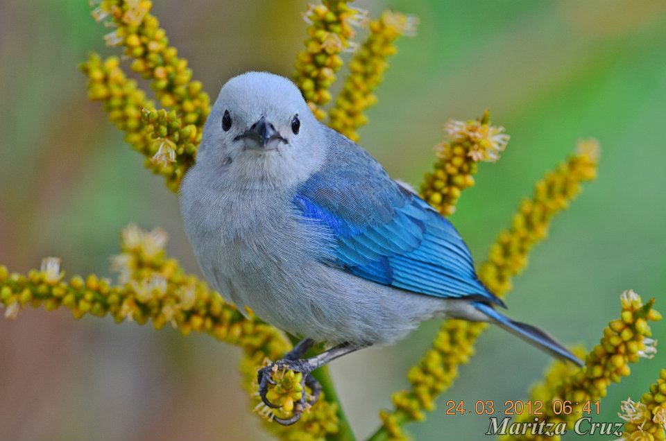 Blue_grey_Tanager.