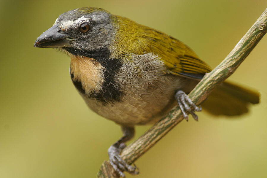 Buff_throated_Saltator