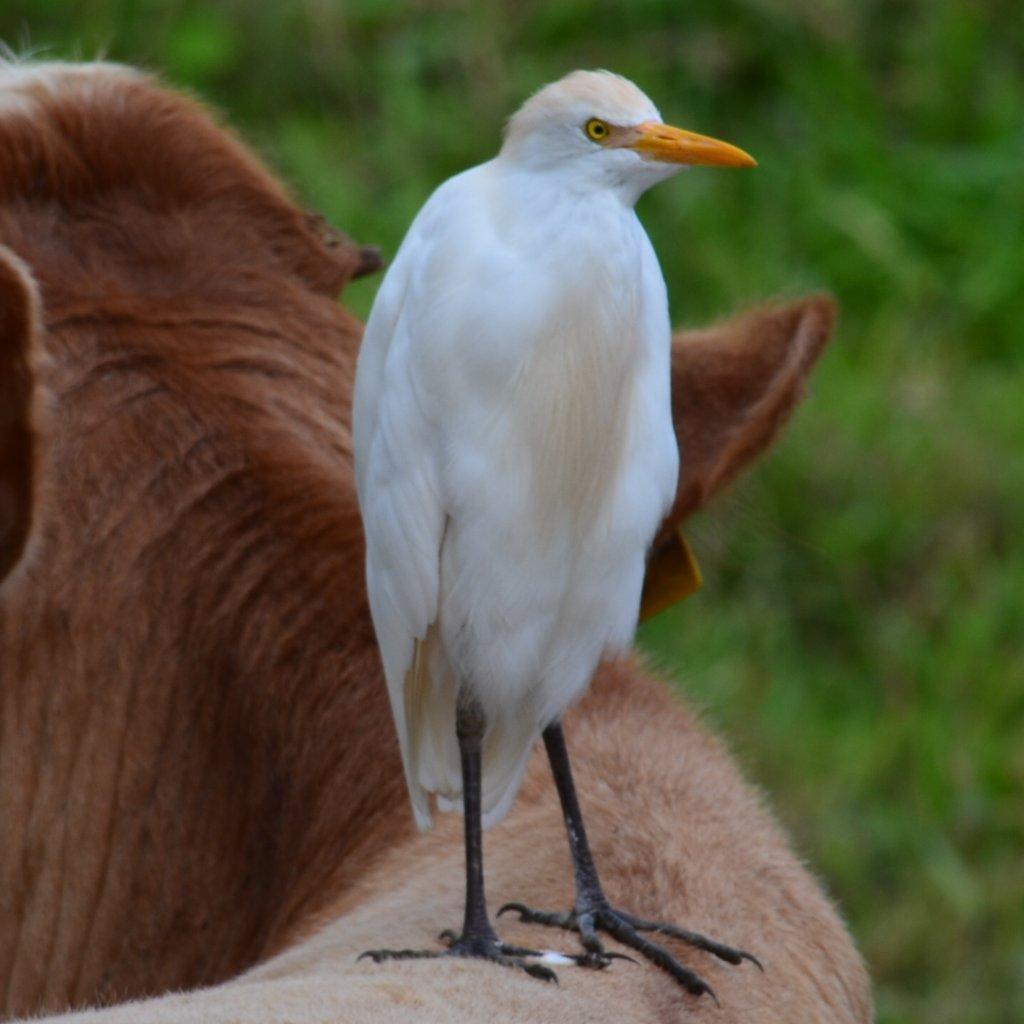 Cattle__Egret