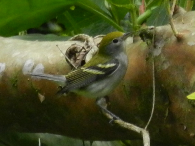 Chestnut_sided_Warbler__MIGRATORIO_