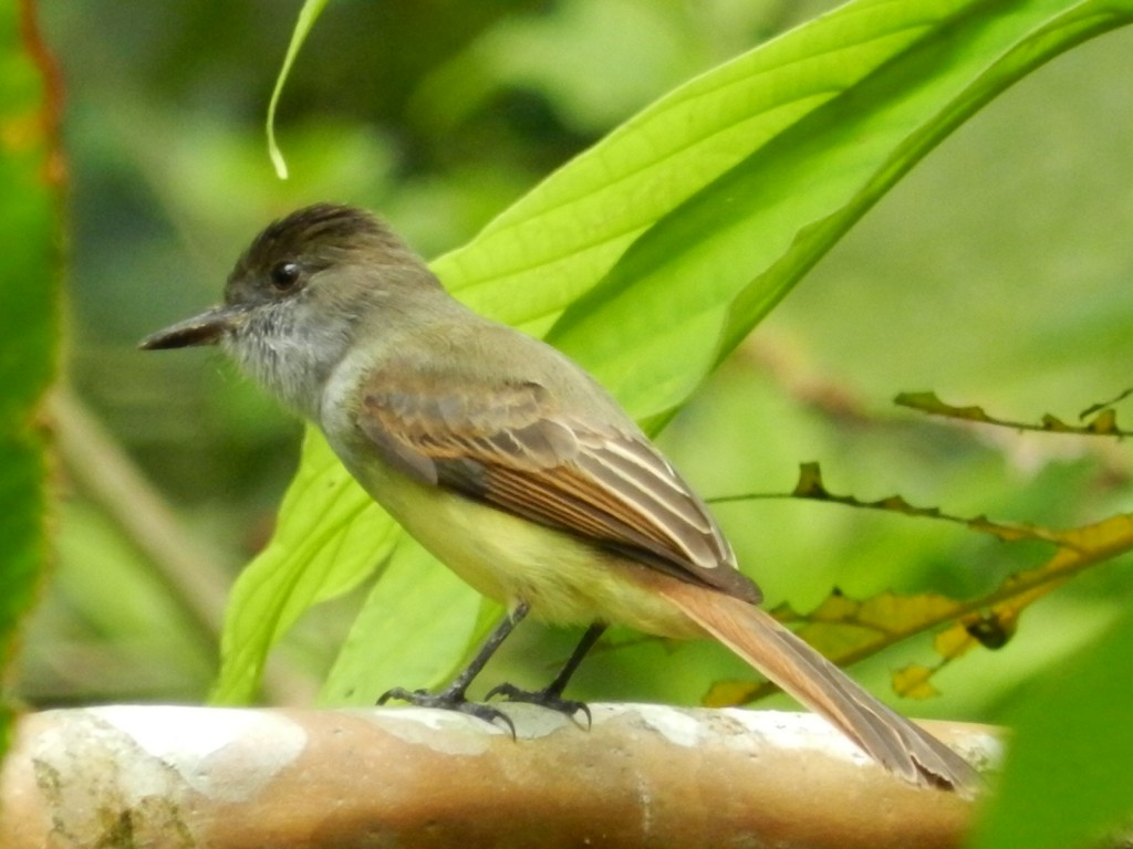 Dusky_capped_Flycatcher