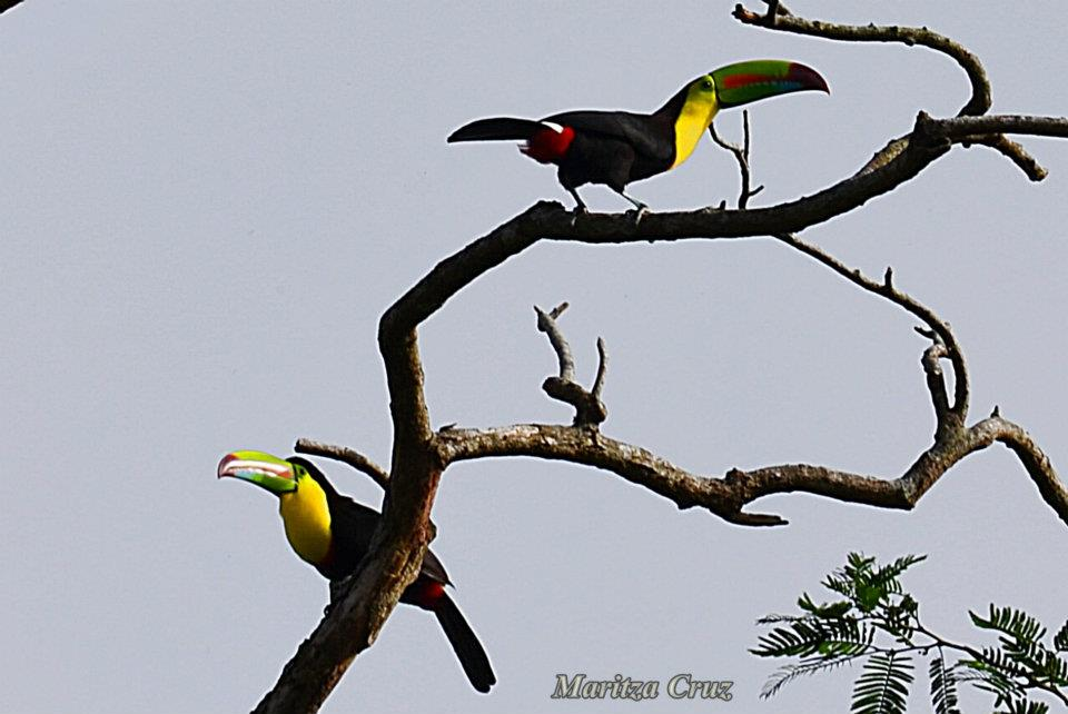 Keel_billed_Toucan.