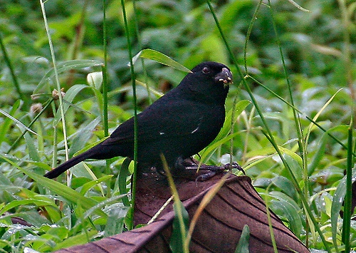 Variable_Seedeater