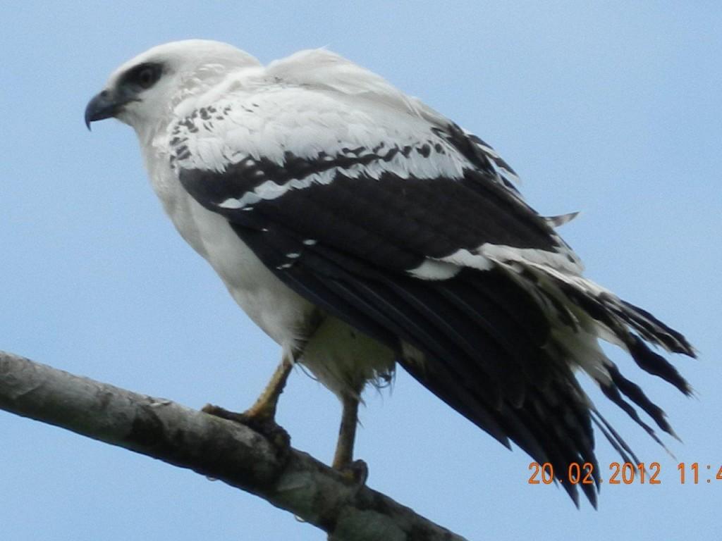 White_Hawk