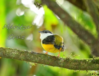 White_collared_Manakin
