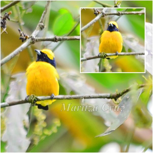Yellow_crowned_Euphonia