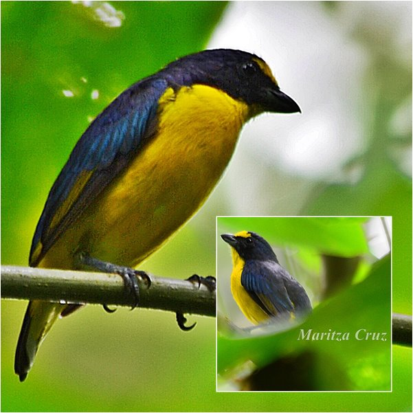 Yellow_throated_Euphonia